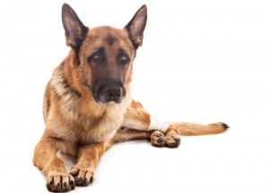 photo of an injured german shepherd over white isolated background